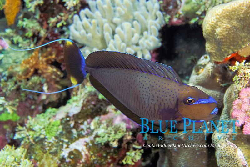 Vlaming's unicornfish, Naso vlamingii Flinders Reefs, Coral Sea Marine Park, Queensland, Australia, Coral Sea, Pacific Ocean (Western Pacific Ocean / Coral Sea)