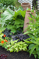 Rhubarb vegetable growing in garden, forcing pots cloches, Ipomoea batatus cvs sweet potato vines, nasturtiums, comfrey