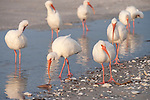 Sanibel Island, Florida; a flock of White ibis (Eudocimus albus) birds stand in a shallow saltwater pool left on the beach after the high tide receeded, foraging for food © Matthew Meier Photography, matthewmeierphoto.com All Rights Reserved