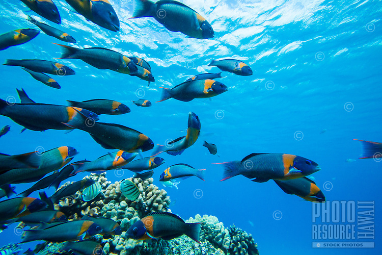 A school of saddle wrasse fish, endemic to Hawai'i, swimming near a reef at Electric Beach near Kahe Point, West O'ahu