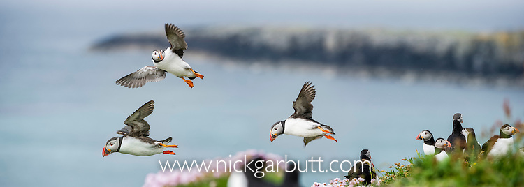 Atlantic Puffins (Fratercula arctica) flying on to the cliff top. Isle of Lunga, Treshnish Isles, Isle of Mull, Scotland.