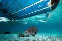 Black grouper, mycteroperca bonaci, grows to 4 ft, under a boat
