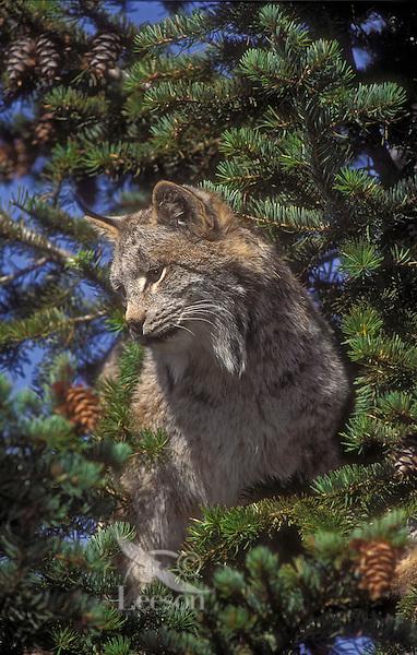 Lynx climbing fir tree. Autumn. North America. Felis lynx canadensis.
