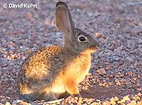 0228-1201  Desert Cottontail Rabbit (Audubons Cottontail), Sylvilagus audubonii  © David Kuhn/Dwight Kuhn Photography
