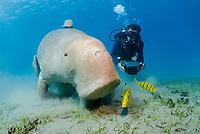Dugong, Sea Cow, feeding on the sea grass, Gnathanodon Speciosus, Egypt, Red Sea, Indian Ocean
