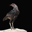 13/10/07 - THIERS - PUY DE DOME - FRANCE - 41 Exposition d aviculture, Championnat Regional du Bantam Club Francais. Poule Combattant Nain Anglais - Photo Jerome CHABANNE
