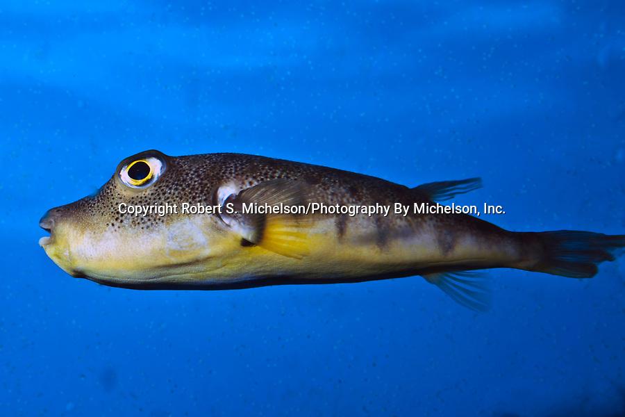 Northern Pufferfish