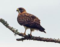 Swainson's hawk adult