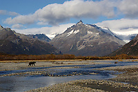 Grizzley Bear Fishing in Katmai Alaska