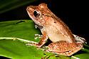 Treefrog {Gephyromantis sp.} Masoala Peninsula National Park, north east Madagascar.