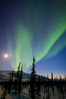 aurora borealis over the silhouetted spruce trees, arctic, Alaska