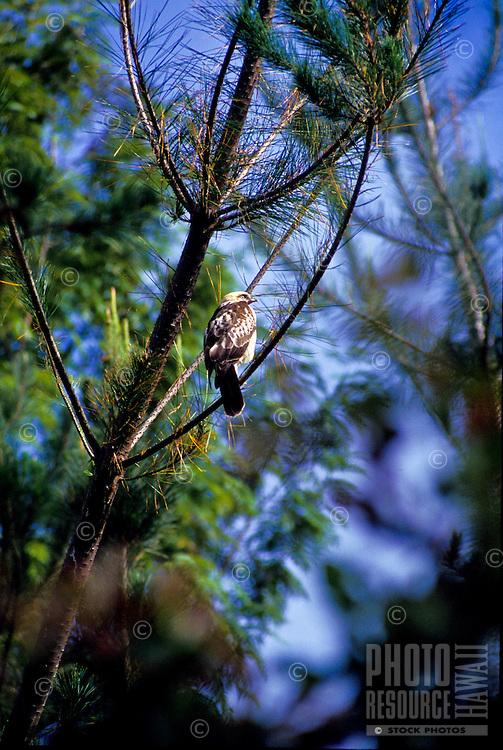 Io, the Hawaiian hawk (Buteo solitarius), a Hawaiian endemic species found only on Big Island.