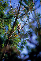 Io, the Hawaiian hawk (Buteo solitarius), a Hawaiian endemic species found only on Big Island.