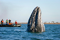 California gray whale, Eschrichtius robustus, spy-hopping near whale watchers in the town of Puerto Lopez Mateos, BCS along the Pacific side of the Baja Penninsula. Pacific Ocean