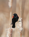 A Red-winged Blackbird male uses two cattail stalks for his perch at the Lee Metcalf Wildlife Refuge in the Bitterroot Valley in Montana
