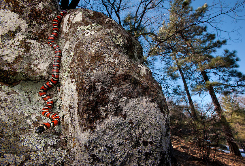 California Mountain Kingsnake - Lampropeltis zonata - The epic and elusive Mountain King. This is the first I have found on my own. My wife found another only a few feet away - her first solo find of any snake.