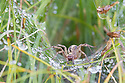 Labyrinth Spider (Agelena labyrinthica) awaiting prey in its funnel web. Nordtirol, Austrian Alps, Austria, 1700 metres altitude, July.