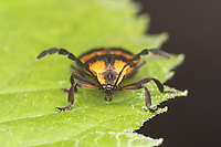 Banded Net-wing Beetle (Calopteron reticulatum)