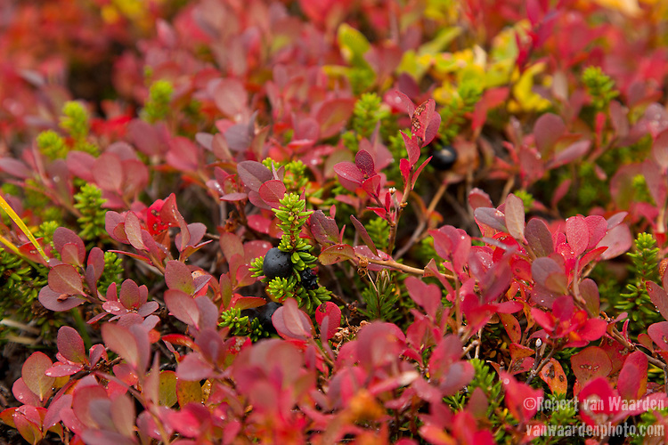 Crowberries (Empetrum nigrum), a species of dwarf shrub, grow in Eastern Greenland.