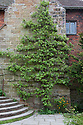 Espalier pear trained on the chimney breast of the solar at Great Dixter, early May. The tree is over 80 years old, but the variety is not known.