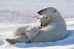 Snuggling up is viewed in a new light as a mother polar bear and her two cubs bask in the mutual affection family ties bring to a new and unfamiliar territory, on the shores of Hudson Bay in Wapusk National Park, Manitoba, Canada.