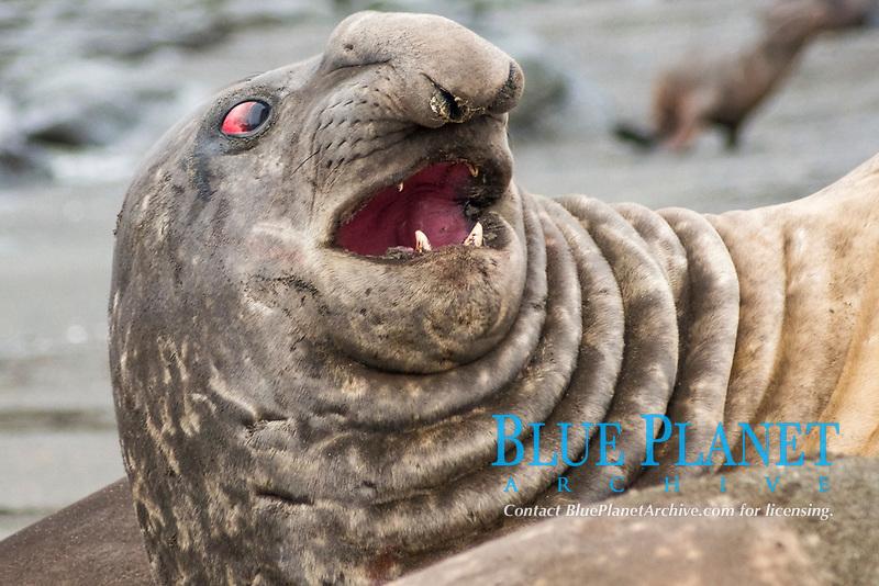 Bull Southern Elephant Seal, Mirounga leonina, South Georgia, South Atlantic Ocean