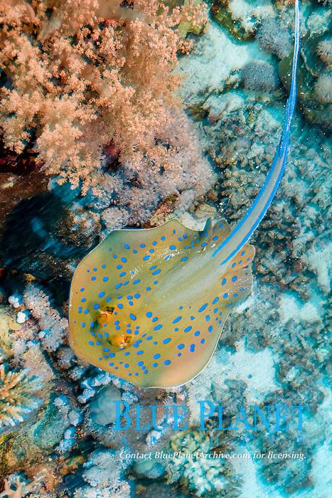 bluespotted ribbontail ray, Taeniura lymma, Dahab, Egypt, Red Sea, Indian Ocean