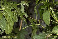 OR07-546z Walking Stick Insect, juvenile camouflaged on tree, Acrophylla wuelfingi