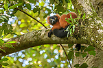 Adult Red Ruffed Lemur (Varecia rubra) resting in rainforest canopy. Masoala National Park, north east Madagascar. Endangered.