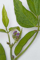 Soybean Plant Parts, showing leaves, stem, bean, flowers, against white background