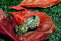 Blanchards cricket rog, Acris crepitans blancharrdi, with oak acorn and fall leaves, Missouri USA