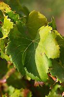 A grenache leaf.  Domaine la Monardiere Monardière, Vacqueyras, Vaucluse, Provence, France, Europe