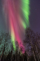 Vibrant red aurora borealis above the birch tree forest in Fairbanks, Alaska.
