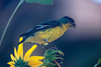 Lesser Goldfinch spotted on a sunflower in Southern Utah