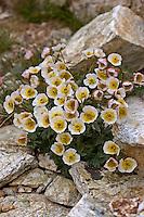Gletscher-Hahnenfuß, Gletscherhahnenfuß, Ranunculus glacialis, Glacier crowfoot, glacier buttercup