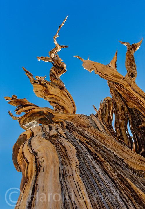 The bristle cone pine can grow for many thousands of years, twisting and turning through the eons.