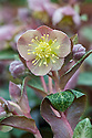 Hellebore (Helleborus lividus), mid March. Sometimes known as blue-grey or purple hellebore, and - because it is native to Majorca - Majorcan hellebore.