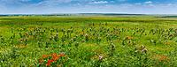 Asclepias sullivantii, smooth milkweed, Sullivant's milkweed or prairie milkweed flowering in Nature Conservancy Tallgrass Prairie Preserve, Oklahoma, early summer