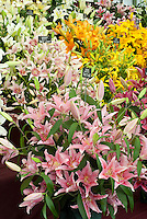 Lilies - Wilford Bulbs exhibit