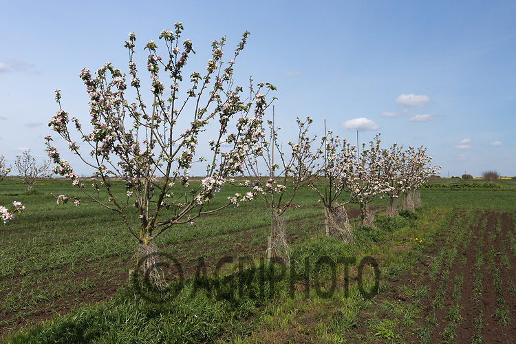 Apple trees planted in arable fields as part of an Agroforestry project <br /> Picture Tim Scrivener 07850 303986<br /> ….covering agriculture in the UK….