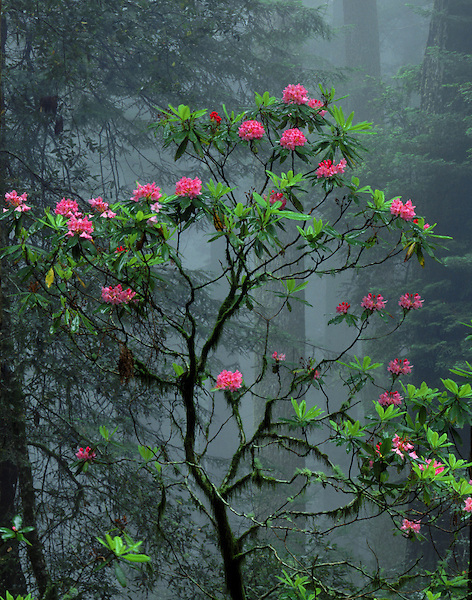 Redwood trees and Rhododendron flowers in fog, Redwood National Park, Cresent City, California, USA. .  John offers private photo tours and workshops throughout Colorado. Year-round. .  John offers private photo tours throughout the western USA, especially Colorado. Year-round.