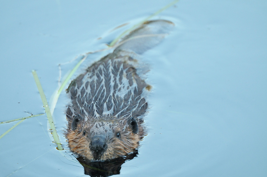 This curious baby beaver couldn't quite decide what to make of me. While it made up it's mind, I made a few photos...