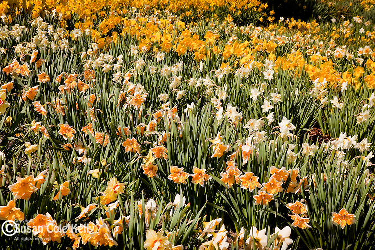 Daffodil Festival, Meriden, CT