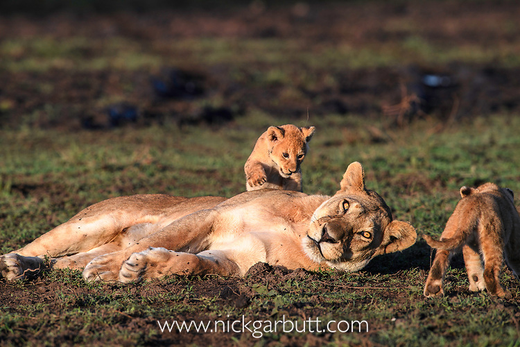 Female lion with cubs (Panthera leo) (around 10 weeks old) - playing / grooming. Woodland on the border of Serengeti / Ngorongoro Conservation Area (NCA) near Ndutu, Tanzania.
