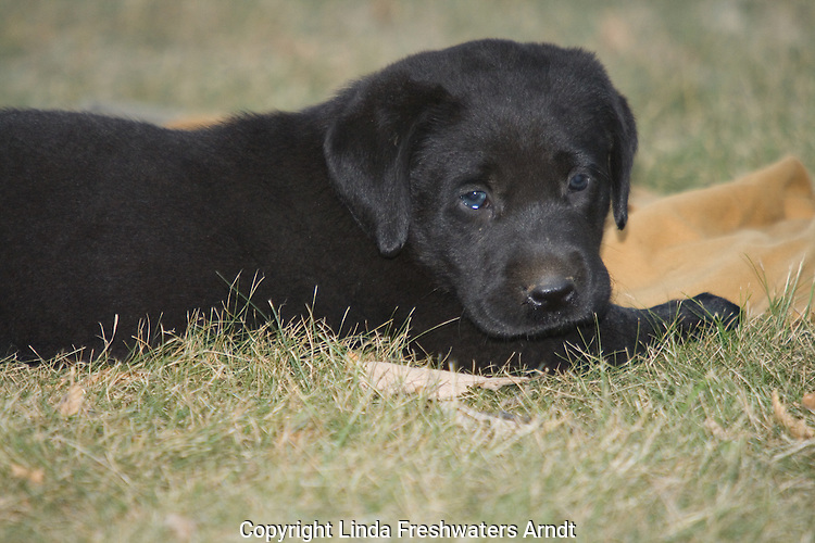 Black Labrador retriever puppy lying next to a hunting coat