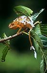 Adult female panther chameleon (Furcifer pardalis) sloughing / shedding skin, Masoala National Park, Madagascar