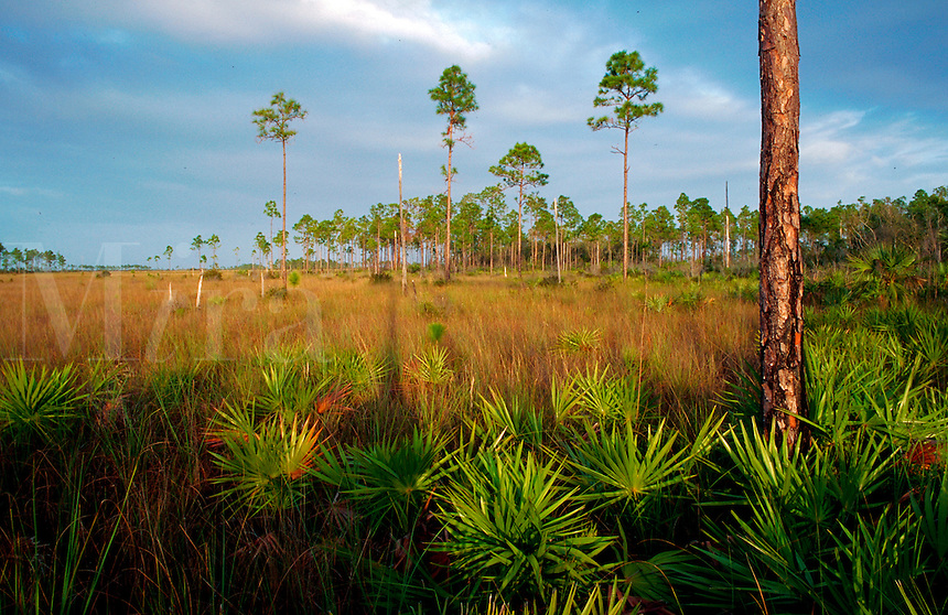 Pines and saw palmetto at the edge of sawgrass marsh, Everglades National Park, Florida,