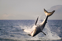 great white shark, Carcharodon carcharias, breaching on seal shaped decoy, False Bay, South Africa, Atlantic Ocean