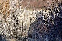 Wild Bobcat (Lynx rufus).  California.  Late Winter.  (A completely wild non-captive cat.)