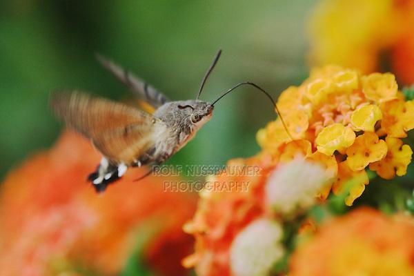 Hummingbird Hawk-moth, Macroglossum stellatarum, adult in flight drinking from lantana, Oberaegeri, Switzerland, August 2006